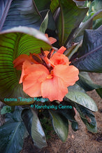 Load image into Gallery viewer, canna 'Tango Mango'