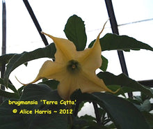 Load image into Gallery viewer, brugmansia 'Terra Cotta Star'