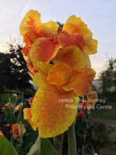 Load image into Gallery viewer, canna 'Thai Sunray'