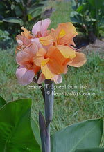 Load image into Gallery viewer, canna 'Tropical Sunrise'