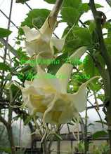 Load image into Gallery viewer, brugmansia 'Tufted'