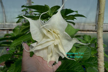 Load image into Gallery viewer, brugmansia 'Tutu'