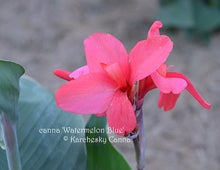 Load image into Gallery viewer, canna 'Watermelon Blue'
