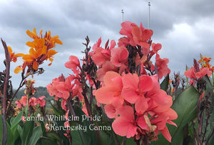 canna 'Whithelm Pride'