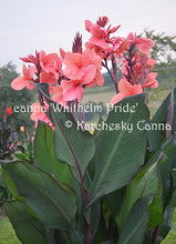 Load image into Gallery viewer, canna 'Whithelm Pride'
