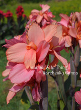 Load image into Gallery viewer, canna 'Wild Thing'