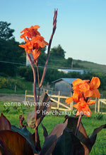 Load image into Gallery viewer, canna 'Wyoming'