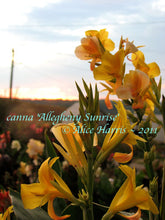 Load image into Gallery viewer, canna 'Allegheny Sunrise'