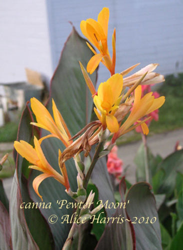 canna 'Pewter Moon'