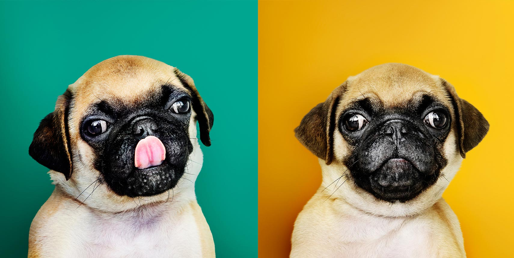 5 funny facts about PUG you might like to know
