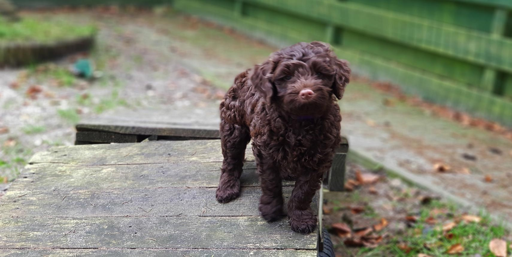 7 interesting facts about LABRADOODLE