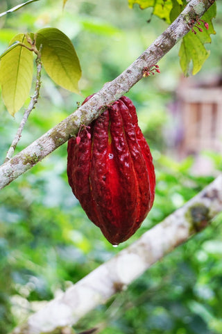 Cacao On The Branch