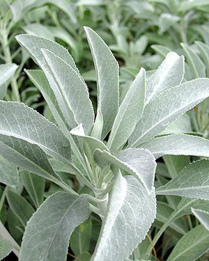 beautiful image of white sage plant