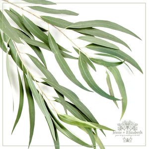 green eucalyptus leaves on a white background