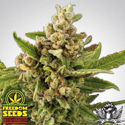 Freedom Seeds: White Witch 5-Pack by en-ex