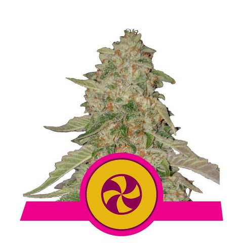 Royal Queen Seeds - Sweet ZZ (formerly Sweet Zkittlez) by en-ex