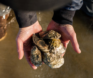 Moon Shoal Regular Oysters from Barnstable, MA