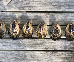 Mill Creek Oysters from Yarmouthport, MA