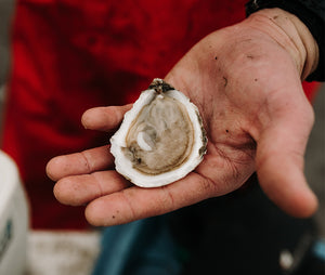 SWELL OYSTERS FROM NEW HAMPSHIRE