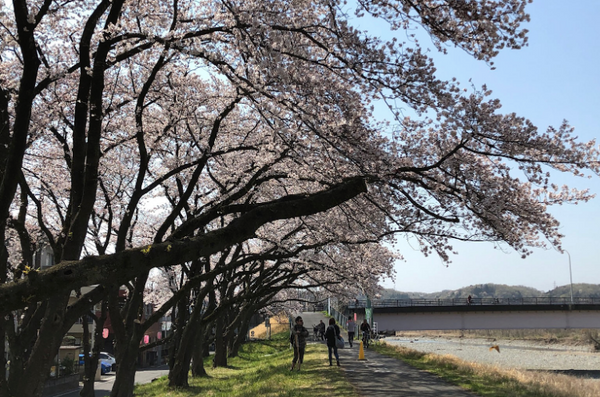 Cherry blossoms alongside the
