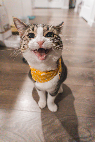 tabby cat meowing at owner
