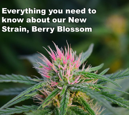 Everything you need to know about our New Strain, Berry Blossom