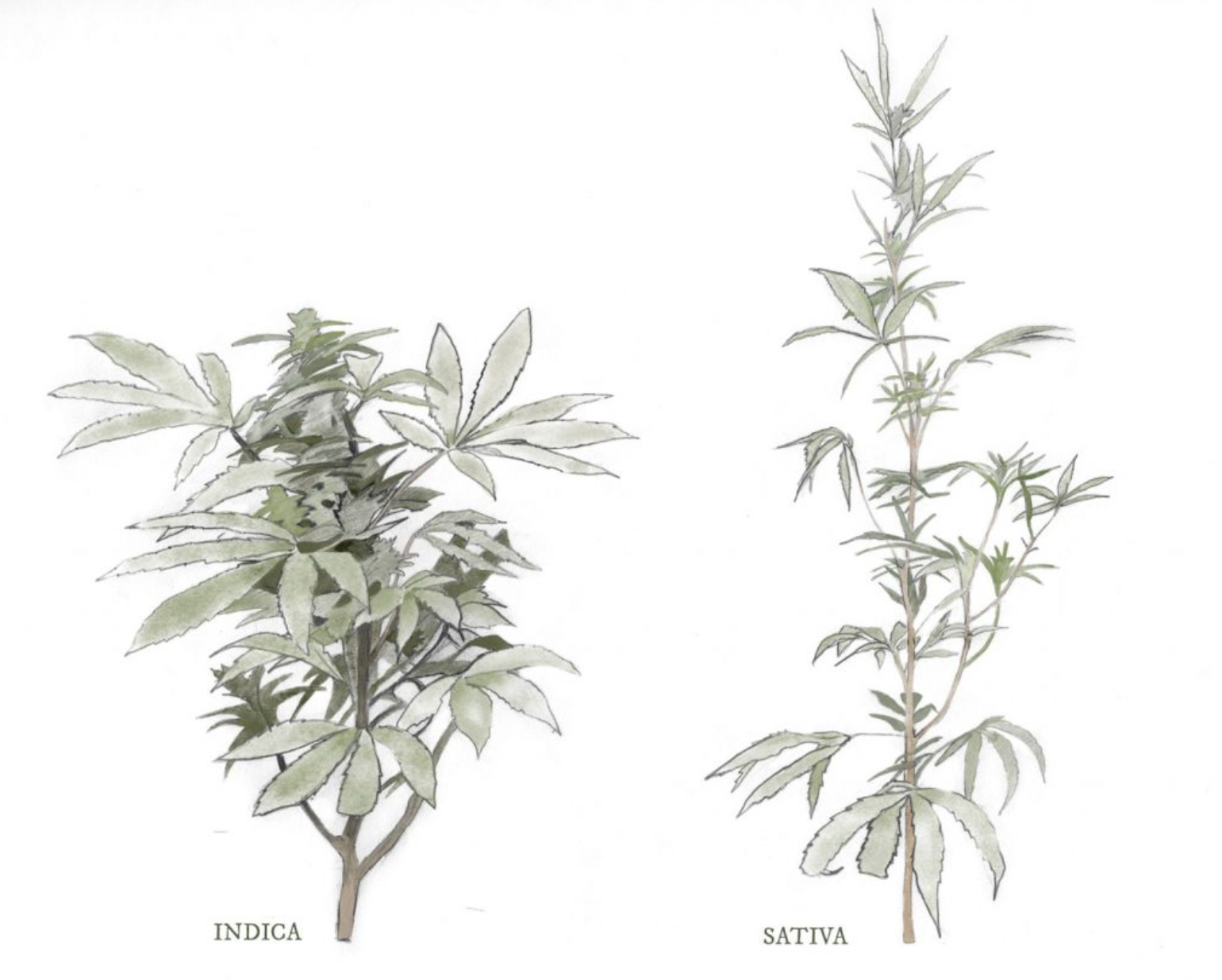 Indica vs Sativa: What the real difference is