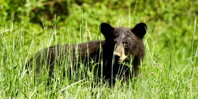 Three Tips for Patterning and Tracking Black Bears