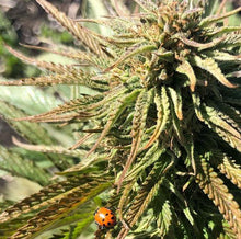 Load image into Gallery viewer, Kush Hemp E1 Flower 7 Grams