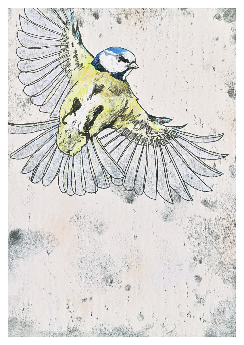 A hand coloured monoprint of a Blue Tit in flight - A3 Giclee Print.