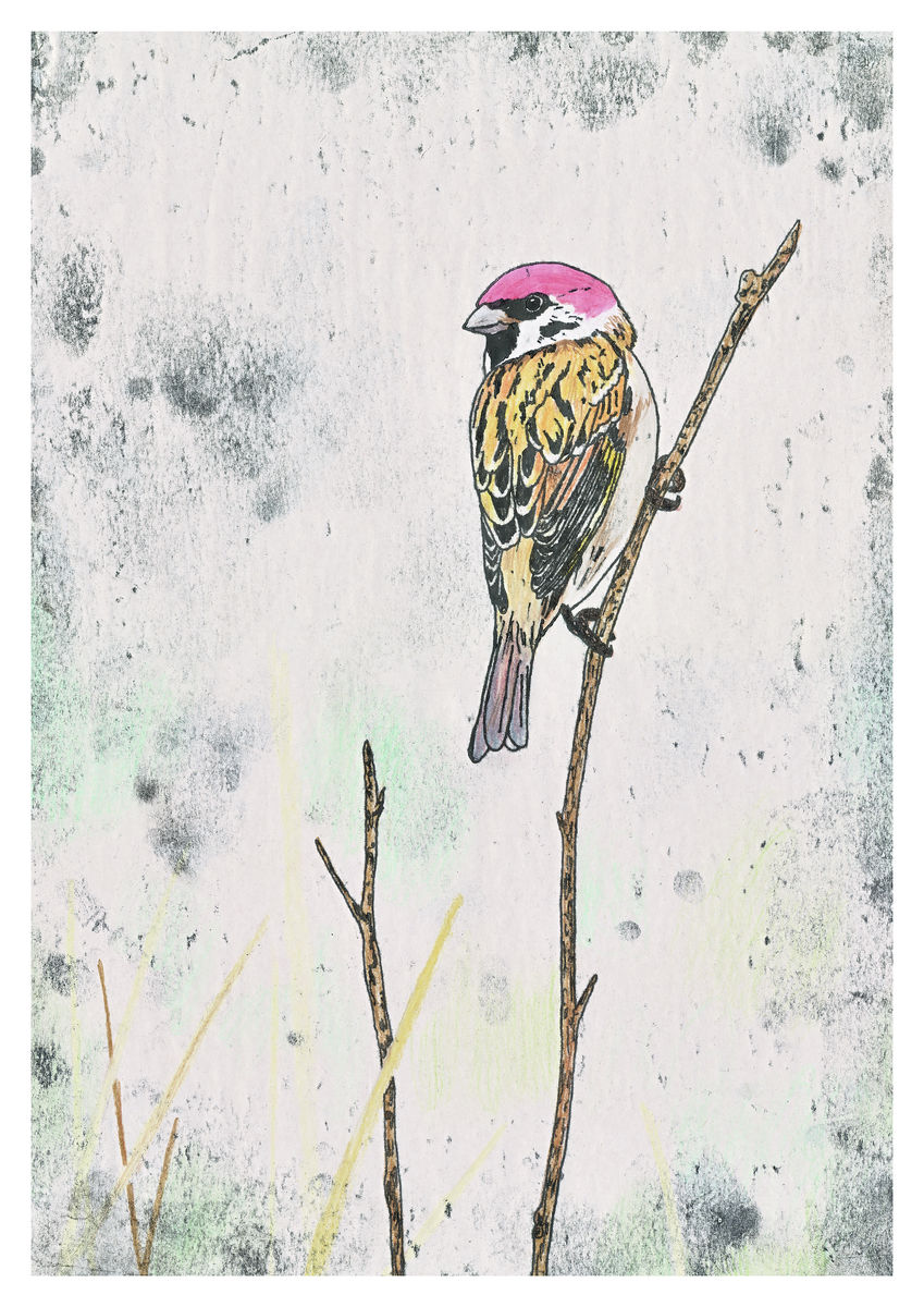 House sparrow artwork - hand coloured monoprint. Available as a Giclee Print.
