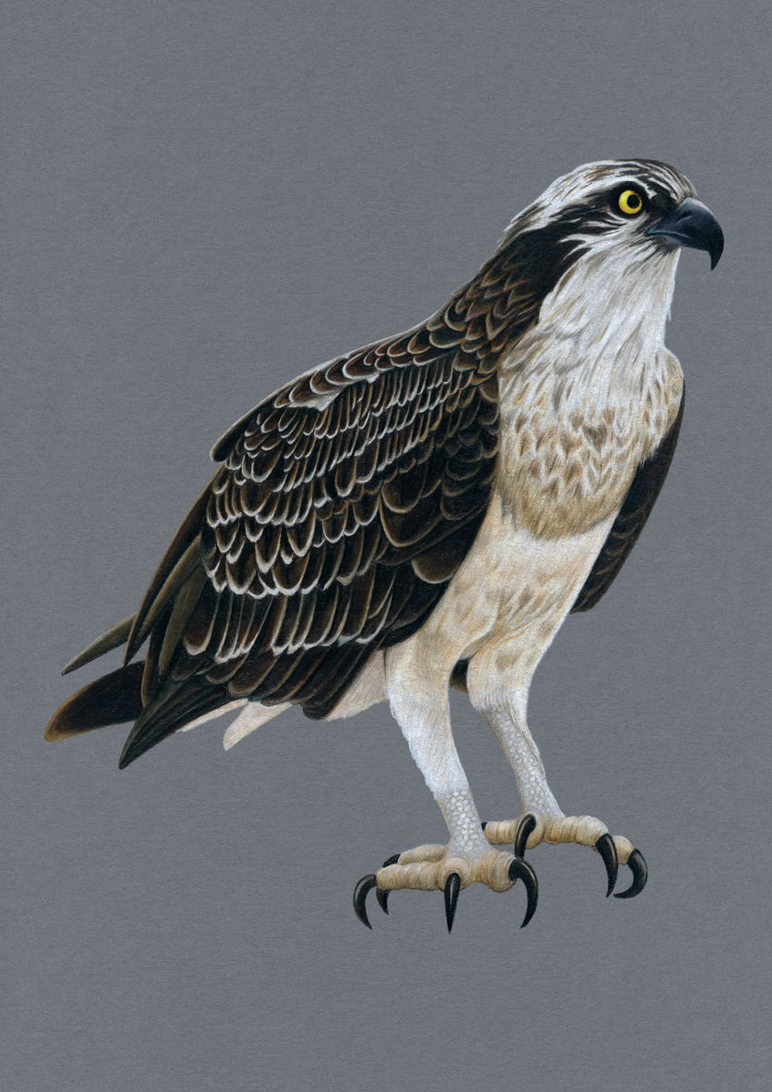 Osprey Illustration (Colour Pencil on card) Giclee Print