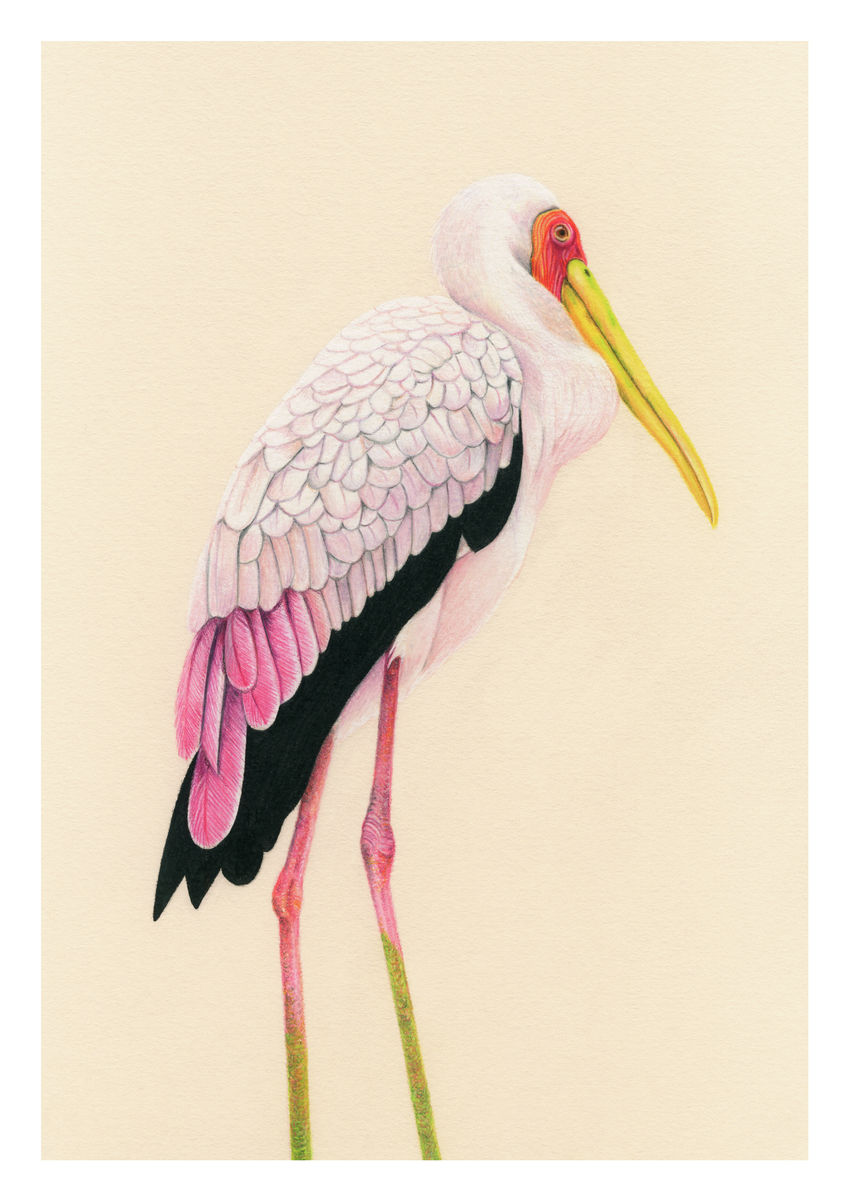 A colour pencil portrait of a Painted Stork, seen in the Bird Park in Kuala Lumper, Malaysia. Available as a Giclee Print.