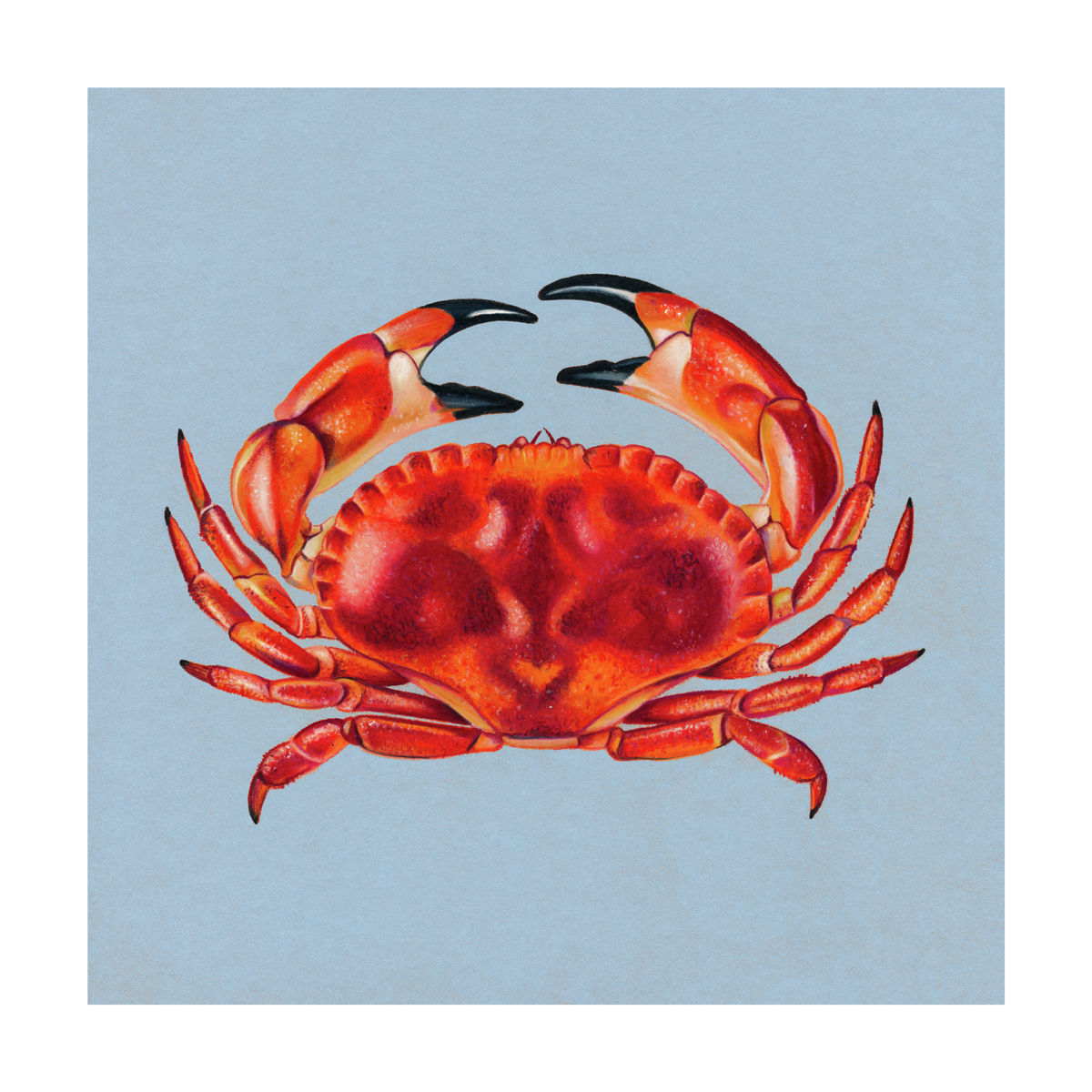 An illustration of a crab (Colour Pencil on Card) - Giclee Print