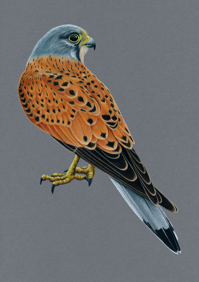 Kestrel Illustration (Colour Pencil on card) Giclee Print