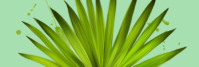 Supplement Spotlight: Saw Palmetto