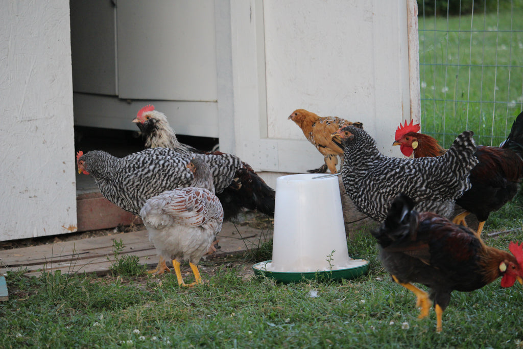 Understanding and preventing predators in and around your coop