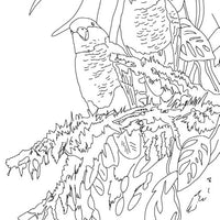 Free coloring page - White bellied Caique
