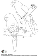 Free coloring page - Golden Conures