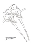Free coloring page - Plum-headed Parakeets
