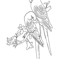 Free coloring page - Spix Macaw