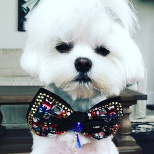 An Interview with the Bad Boy Maltese of Instagram - Ollie the Sock Thief.