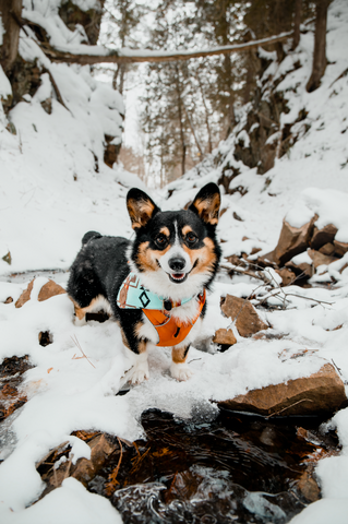 dogs, corgi puppy, hike, travel