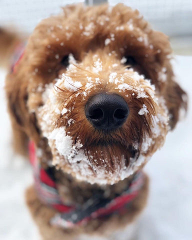 golden doodle, snow, best dog treats, healthy food