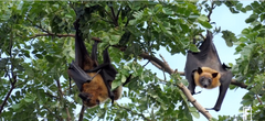 flying foxes in the study to cure Alzheimer's, at Moxie Beauty Care