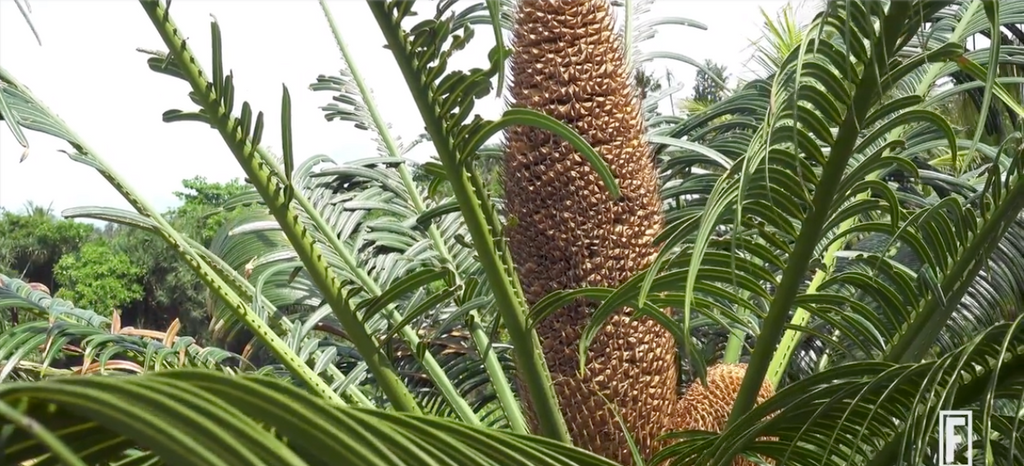 Cycad Tree with a head of developing seeds attached to small leaf-like structures - Moxie Nu Skin