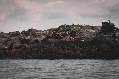 Sea lion haul-out