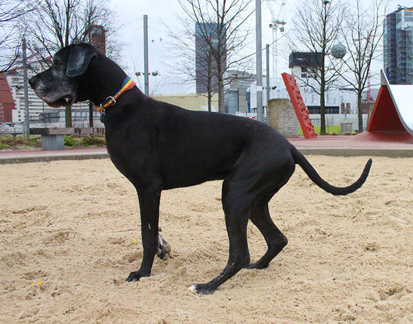 Fred the great Dane in the sandpit at the Olympic Park wearing a rainbow collar