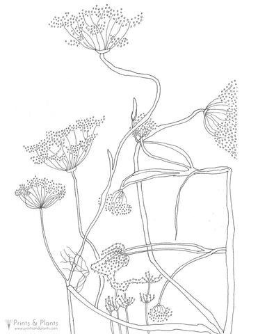 Fennel Flowers Coloring Page