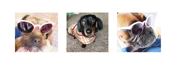 Guest Interview by the Hettie pups with Bryan the miniature dachshund